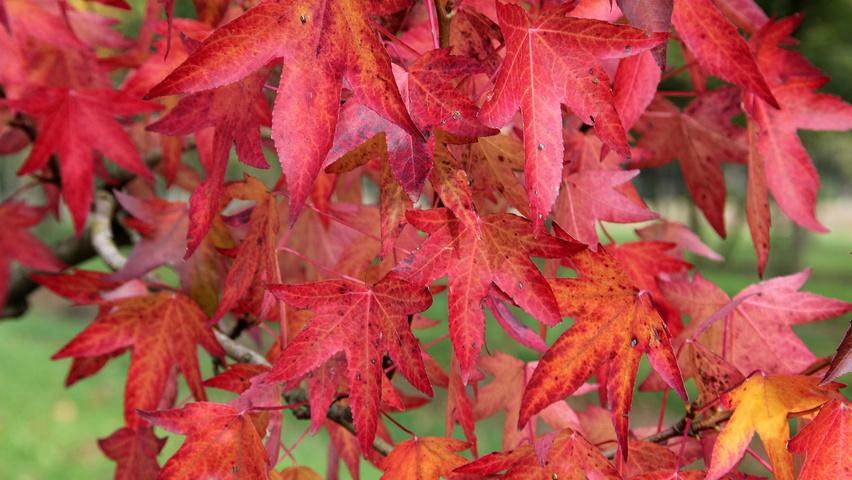 Liquidambar styraciflua 'Worplesdon' | TreeEbb | Online tree-finding tool | Ebben Nurseries