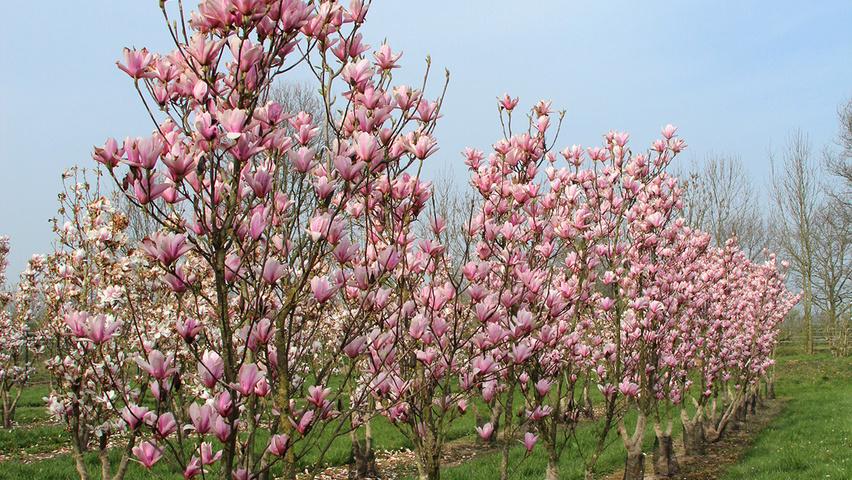 Magnolia Heaven Scent Treeebb Online Tree Finding Tool Ebben