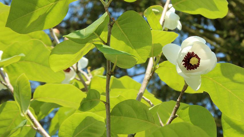 magnolia sieboldii treeebb le moteur de recherche sur. Black Bedroom Furniture Sets. Home Design Ideas