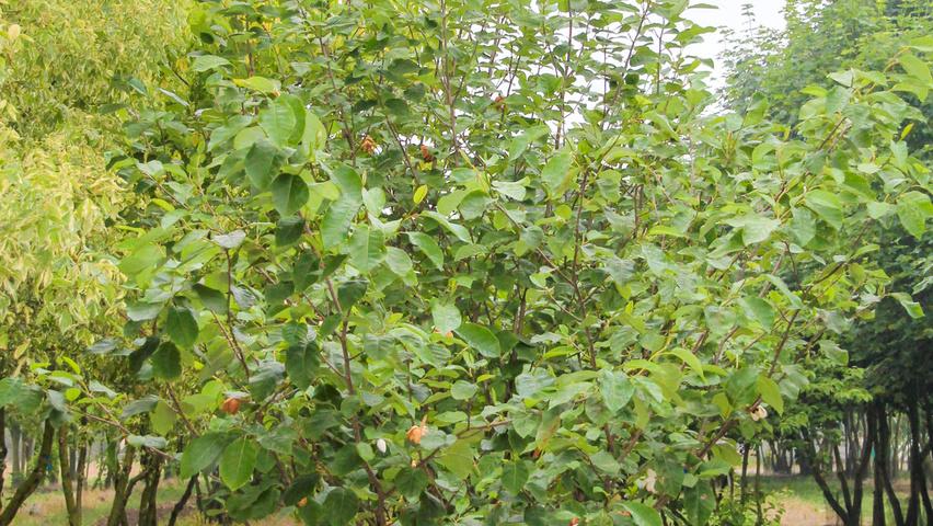 Magnolia Sieboldii Treeebb Online Tree Finding Tool Ebben