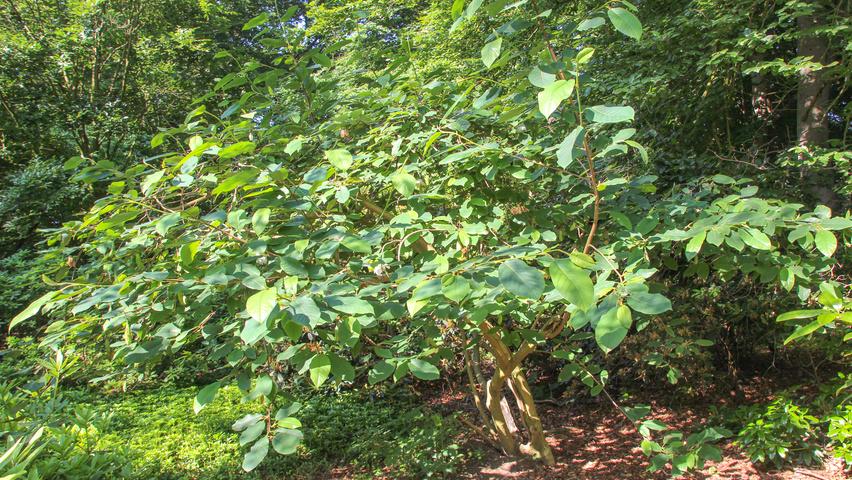 Magnolia Sieboldii Subsp Sinensis Treeebb Online Tree Finding