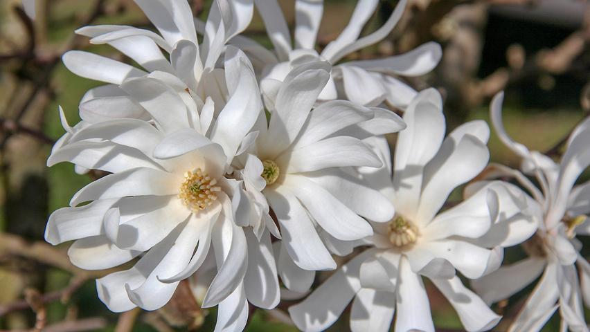 magnolia stellata treeebb baumsuchmaschine im internet baumschule ebben. Black Bedroom Furniture Sets. Home Design Ideas