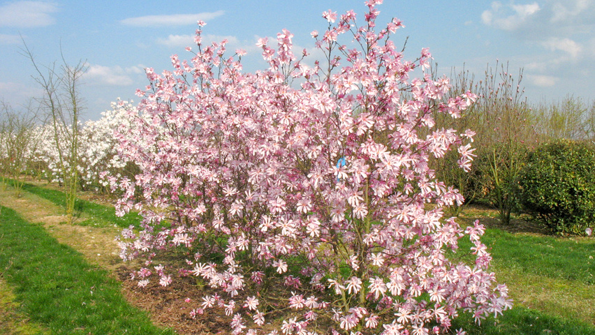 Magnolia X Loebneri Leonard Messel Treeebb Online Tree Finding