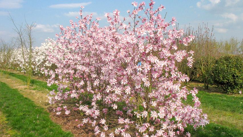 Magnolia X Loebneri Leonard Messel Treeebb Online Tree
