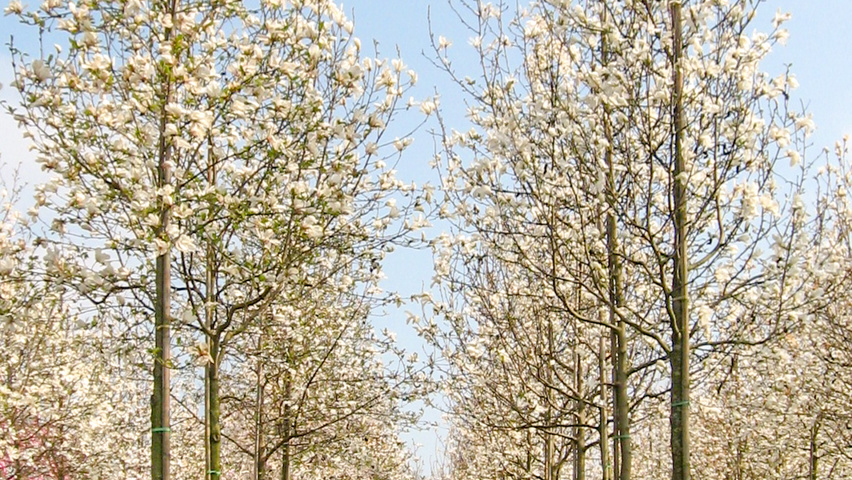Magnolia X Loebneri Merrill Treeebb Online Tree Finding Tool