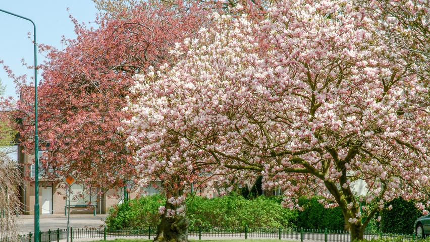 magnolia x soulangeana treeebb online bomenzoektool boomkwekerij ebben. Black Bedroom Furniture Sets. Home Design Ideas