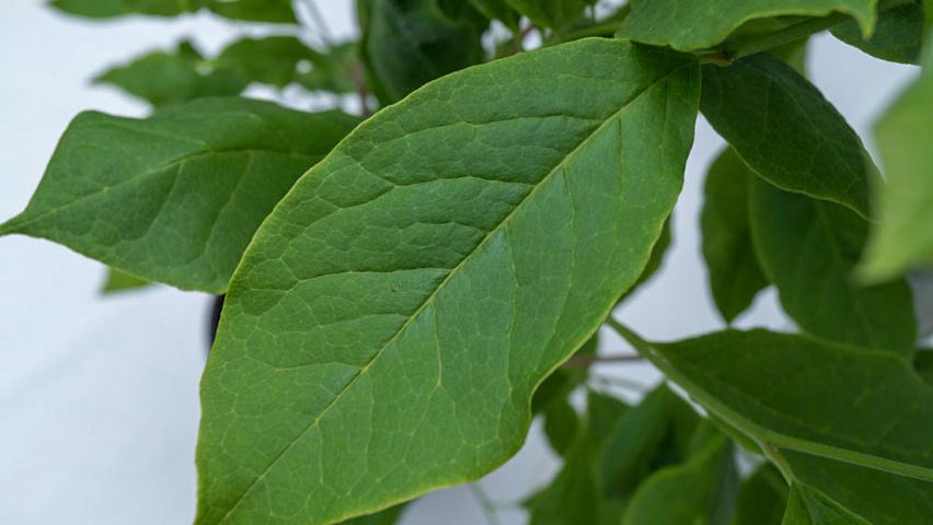 Magnolia X Soulangeana Lennei Treeebb Online Tree Finding Tool