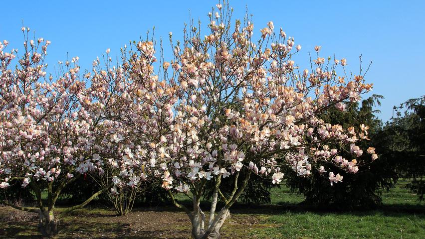 magnolia x soulangeana treeebb online tree finding. Black Bedroom Furniture Sets. Home Design Ideas