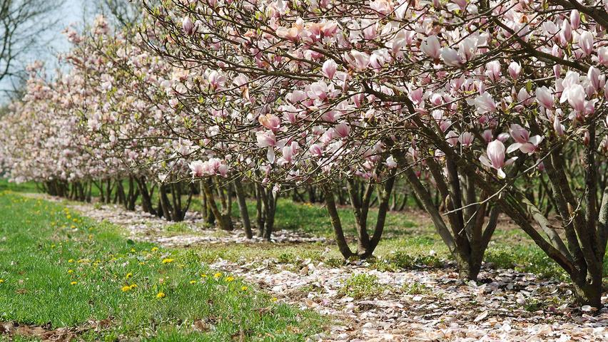 magnolia x soulangeana treeebb le moteur de recherche sur les arbres p pini res ebben. Black Bedroom Furniture Sets. Home Design Ideas