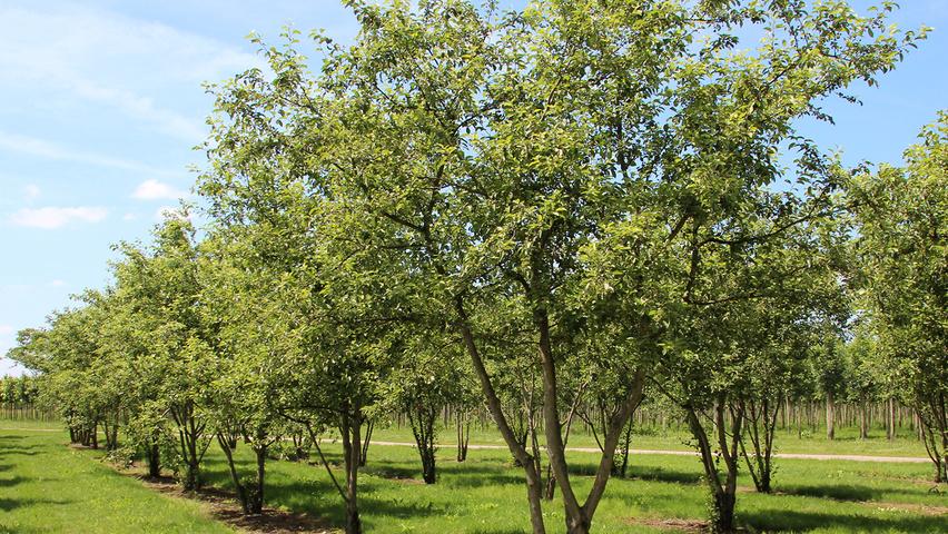 Malus u0026#39;Everesteu0026#39; : TreeEbb : Le moteur de recherche sur les arbres ...