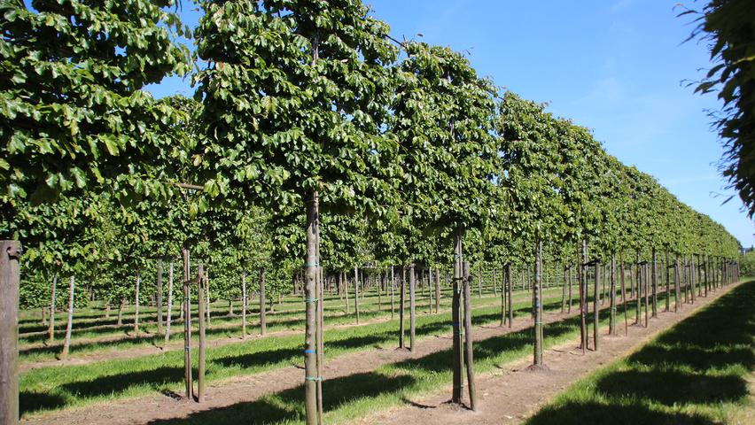 parrotia persica treeebb le moteur de recherche sur les arbres p pini res ebben. Black Bedroom Furniture Sets. Home Design Ideas
