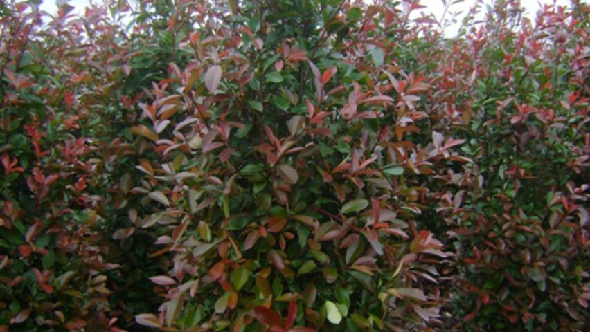 Photinia x fraseri 39 red robin 39 treeebb online tree - Photinia x fraseri red robin ...