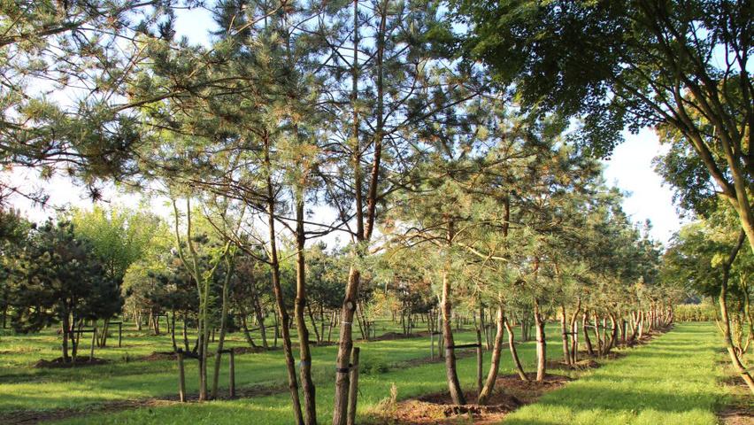 Pinus sylvestris   TreeEbb   Baumsuchmaschine im Internet ...