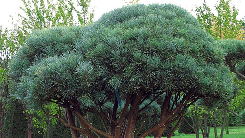pinus sylvestris 39 watereri 39 treeebb online tree finding tool ebben nurseries. Black Bedroom Furniture Sets. Home Design Ideas