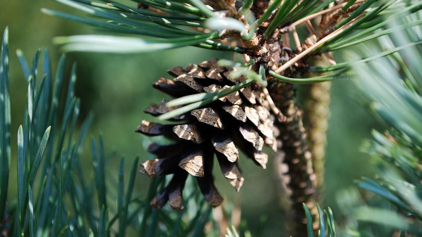 pinus sylvestris 39 watereri 39 treeebb le moteur de recherche sur les arbres p pini res ebben. Black Bedroom Furniture Sets. Home Design Ideas