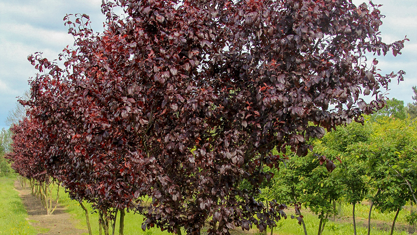 prunus cerasifera 39 nigra 39 treeebb online bomenzoektool. Black Bedroom Furniture Sets. Home Design Ideas