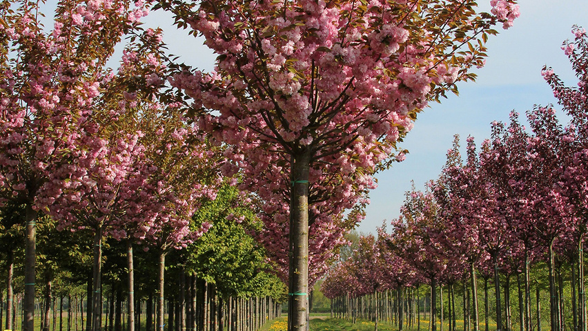prunus serrulata 39 kanzan 39 treeebb online tree finding. Black Bedroom Furniture Sets. Home Design Ideas