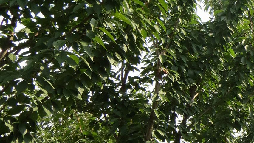 prunus serrulata 39 kanzan 39 treeebb online tree finding. Black Bedroom Furniture Sets. Home Design Ideas