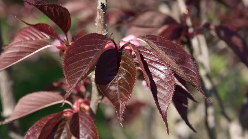 Prunus Serrulata Royal Burgundy Treeebb Online Tree Finding