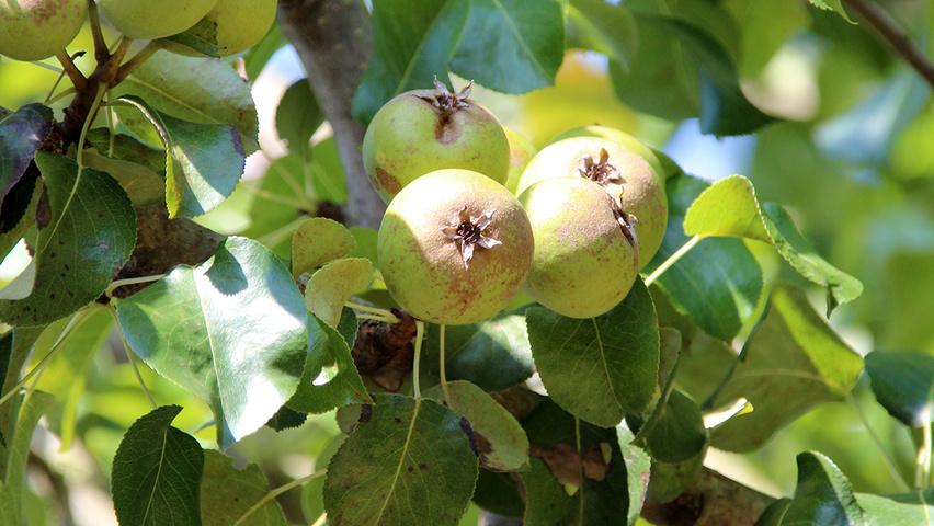 Pyrus calleryana 'Chanticleer' | TreeEbb | Le moteur de recherche sur les arbres | Pépinières Ebben