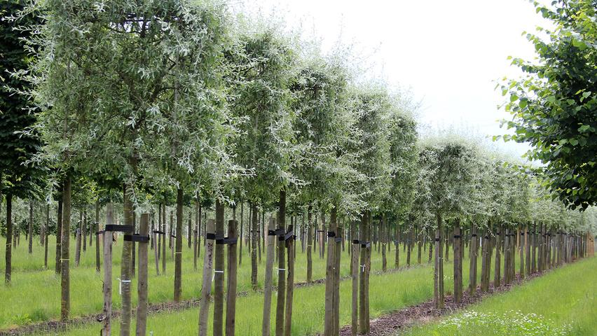 pyrus salicifolia 39 pendula 39 treeebb online tree finding tool ebben nurseries. Black Bedroom Furniture Sets. Home Design Ideas