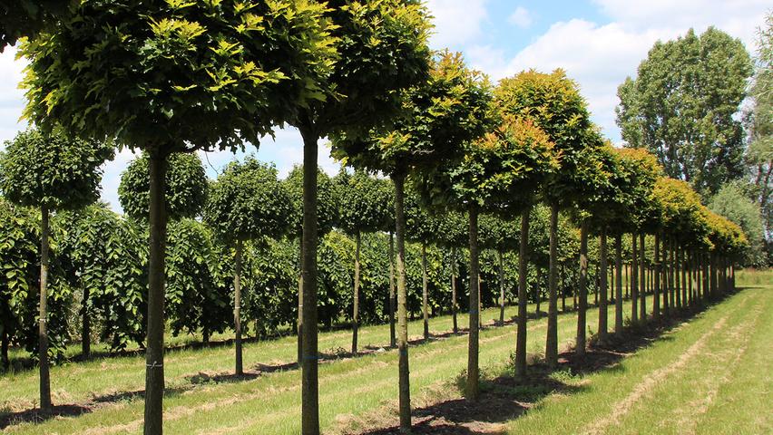 quercus palustris 39 green dwarf 39 treeebb le moteur de recherche sur les arbres p pini res ebben. Black Bedroom Furniture Sets. Home Design Ideas