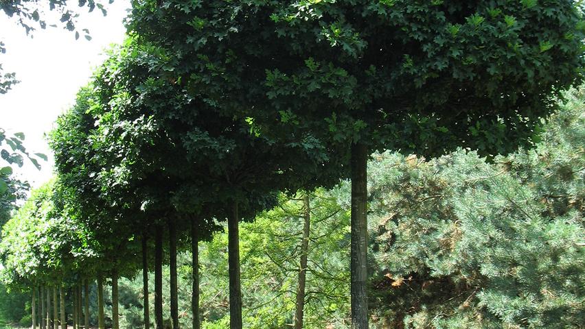 quercus palustris 39 green dwarf 39 treeebb online tree finding tool ebben nurseries. Black Bedroom Furniture Sets. Home Design Ideas