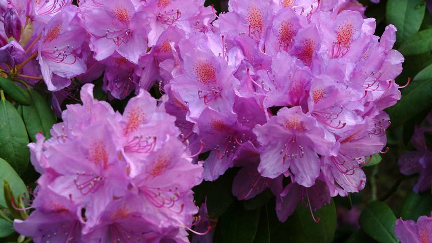 rhododendron 39 catawbiense grandiflorum 39 treeebb online. Black Bedroom Furniture Sets. Home Design Ideas