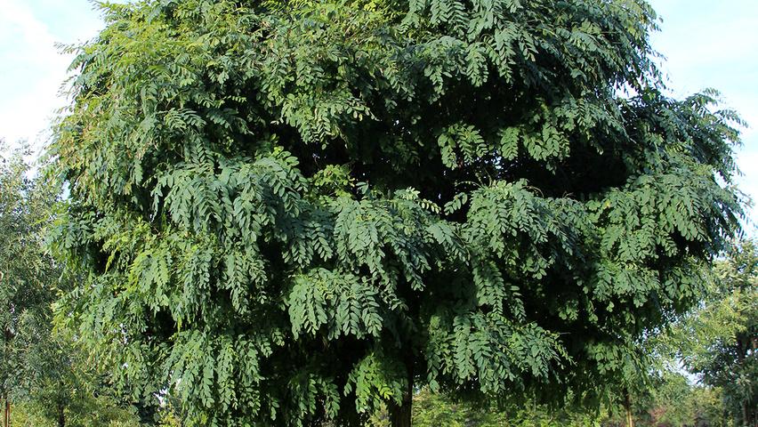 robinia pseudoacacia 39 umbraculifera 39 treeebb online. Black Bedroom Furniture Sets. Home Design Ideas