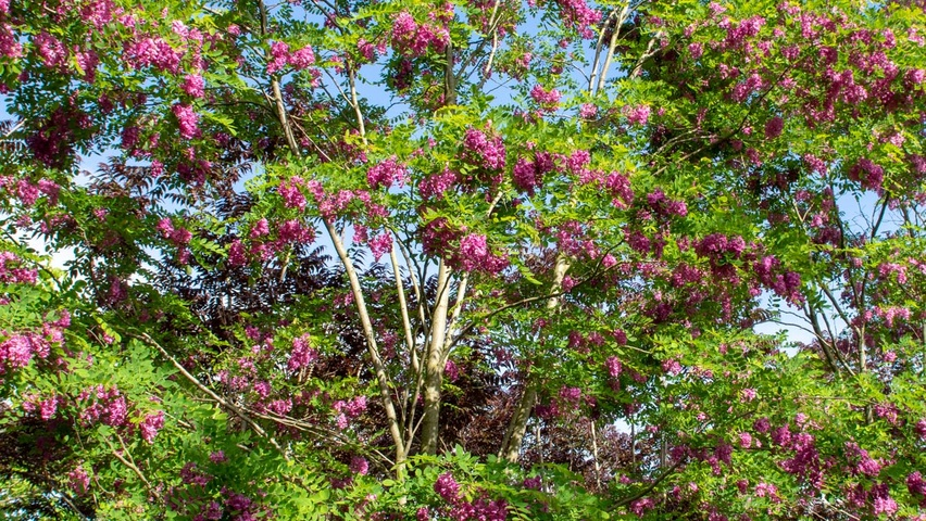 Robinia x margaretta pink cascade treeebb online tree finding robinia x margaretta pink cascade multi stem flowers mightylinksfo
