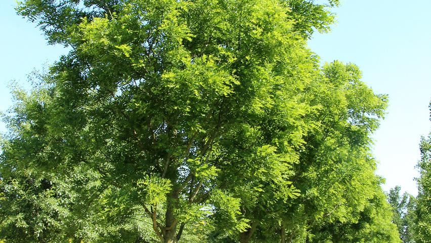 Styphnolobium Japonicum Fleright Treeebb Online Tree Finding Tool Ebben Nurseries