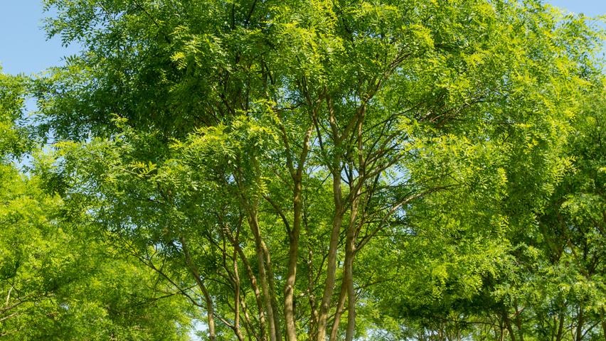 Styphnolobium Japonicum Treeebb Online Tree Finding Tool Ebben Nurseries