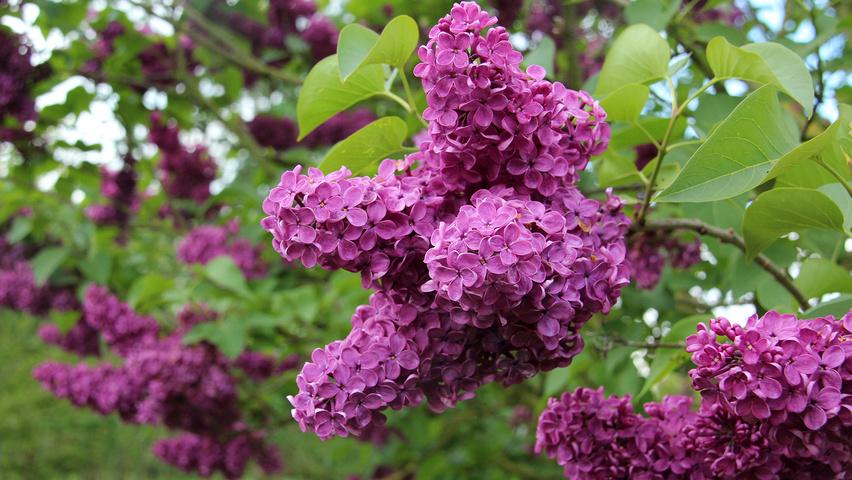 Syringa Vulgaris Charles Joly Flowers