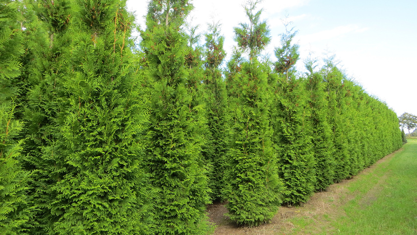 thuja occidentalis 39 brabant 39 treeebb online tree finding tool ebben nurseries. Black Bedroom Furniture Sets. Home Design Ideas