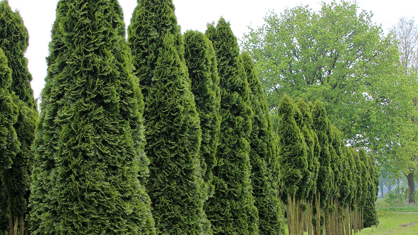 thuja occidentalis 39 smaragd 39 treeebb online tree finding tool ebben nurseries. Black Bedroom Furniture Sets. Home Design Ideas