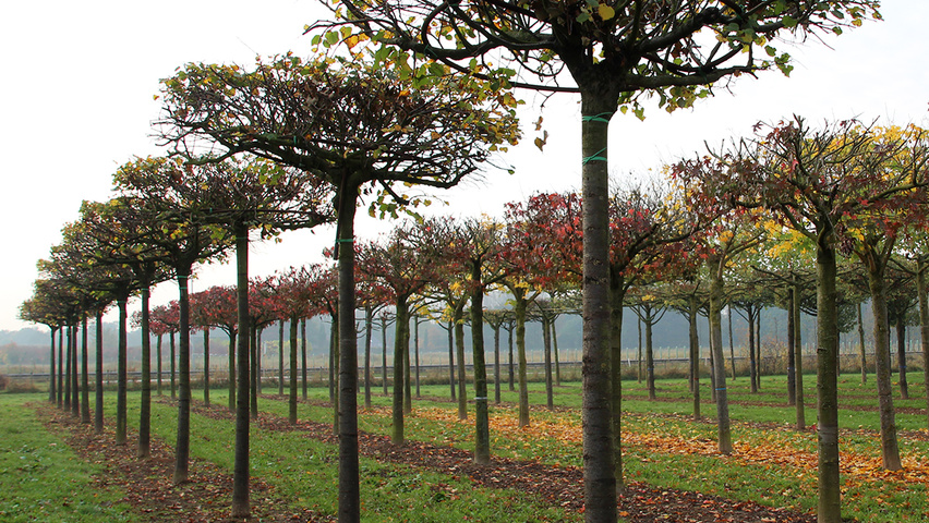 Tilia cordata 'Rancho' roof-trained