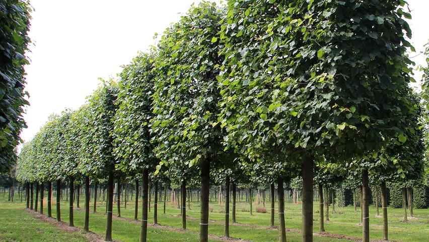 tilia x europaea 39 pallida 39 treeebb le moteur de recherche sur les arbres p pini res ebben. Black Bedroom Furniture Sets. Home Design Ideas