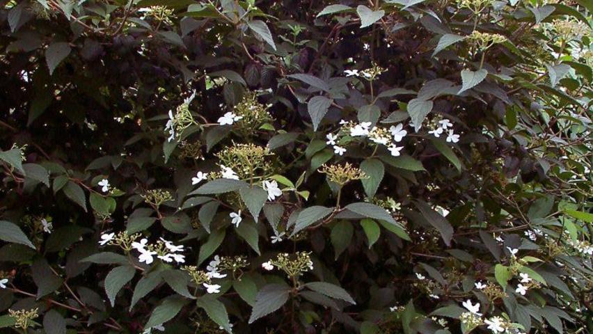 viburnum plicatum 39 watanabe 39 treeebb online tree. Black Bedroom Furniture Sets. Home Design Ideas