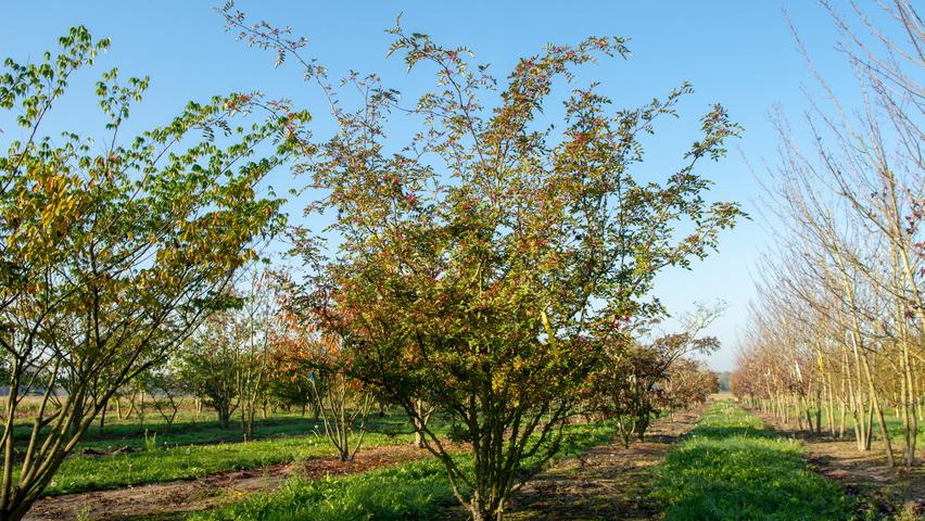 Zanthoxylum Simulans Treeebb Online Tree Finding Tool Ebben Nurseries