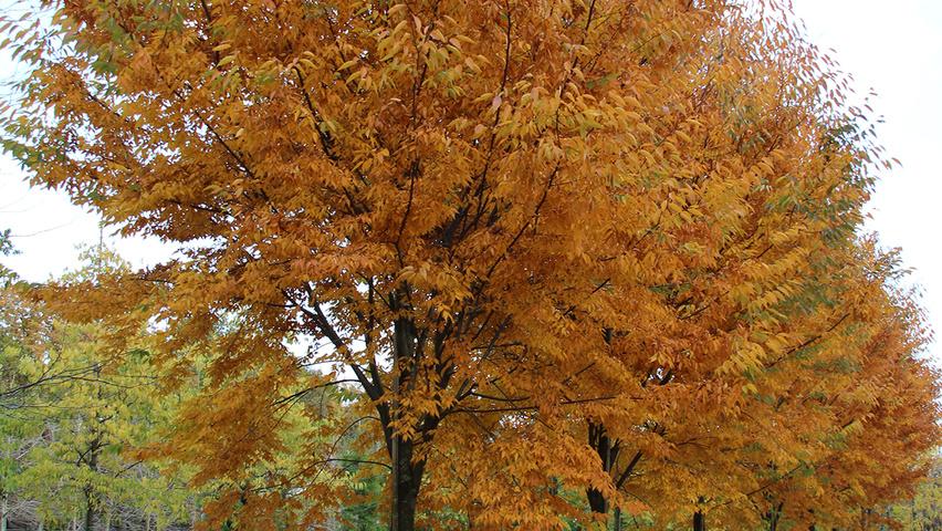 Zelkova Serrata Flekova Treeebb Online Tree Finding Tool